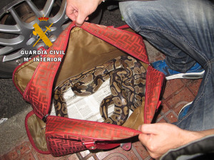 La serpiente utilizada para actividades lucrativas en Sant Antoni.