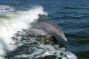 En la imagen, un delfín mular, una de las especies que sufriría daños irreparables por la altísima potencia de las exploraciones sísmicas. Foto: NASAs (Wikipedia)